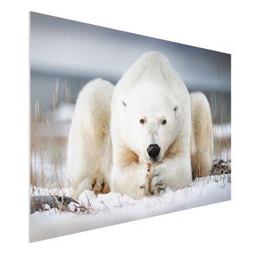 Quadro in forex - Orso polare contemplativa - Orizzontale 3:2