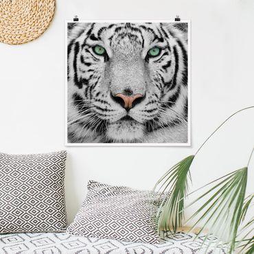 Poster - white Tiger - Quadrato 1:1