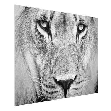 Quadro in forex - Old lion - Orizzontale 4:3