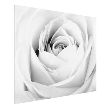 Quadro in forex - Close Up Rose - Orizzontale 4:3