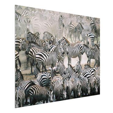 Quadro in forex - Zebra herd - Orizzontale 4:3