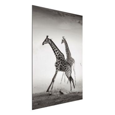 Quadro in alluminio - Giraffe hunting