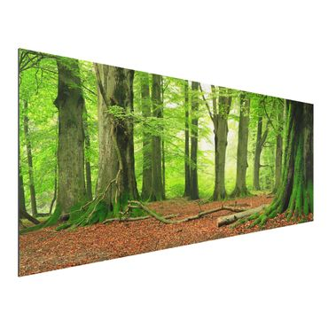 Quadro in alluminio - Mighty Beech Trees