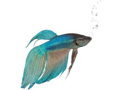 Adesivi da finestra No.353 Blue Siamese fighting fish