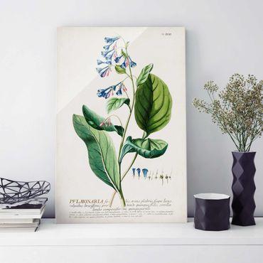 Quadro in vetro - Vintage botanica Lungwort - Verticale 3:2