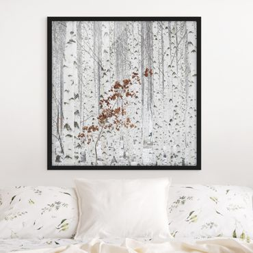 Poster con cornice - Birches In Autumn - Quadrato 1:1