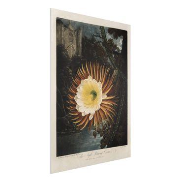 Stampa su Forex - Botanica illustrazione d'epoca Kaktusblüte - Verticale 4:3