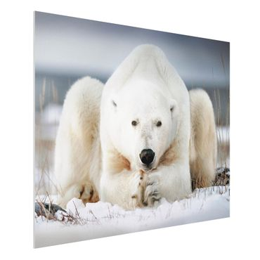 Quadro in forex - Orso polare contemplativa - Orizzontale 4:3