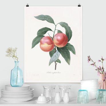 Poster - Botanica illustrazione d'epoca Peach - Verticale 4:3