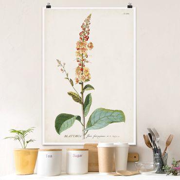 Poster - Vintage botanica Verbasco - Verticale 3:2