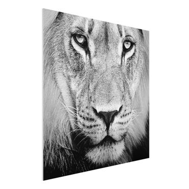 Quadro in forex - Old lion - Quadrato 1:1