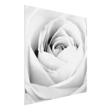 Quadro in forex - Close Up Rose - Quadrato 1:1