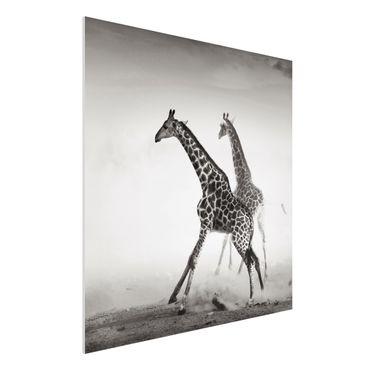 Quadro in forex - giraffe hunting - Quadrato 1:1
