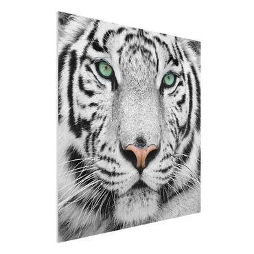 Quadro in forex - White tiger - Quadrato 1:1