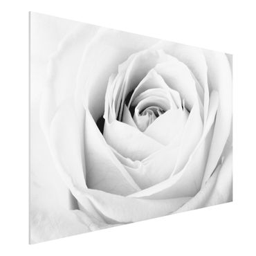 Quadro in forex - Close Up Rose - Orizzontale 3:2