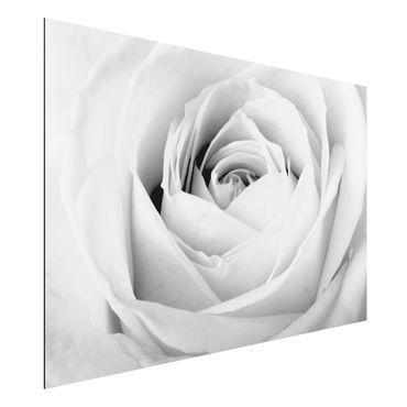 Quadro in alluminio - Close Up Rose