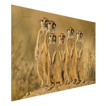 Quadro in alluminio - Meerkat Family