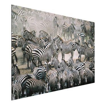 Quadro in alluminio - Zebra Herd