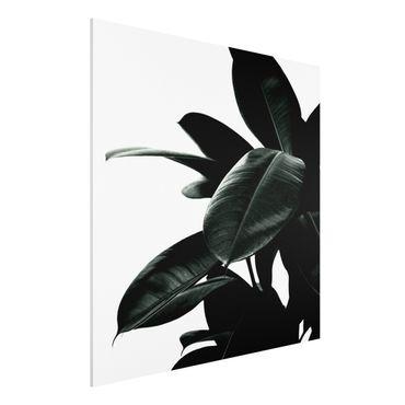 Stampa su Forex - Foglie dell'albero della gomma in verde scuro - Quadrato 1:1