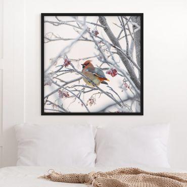 Poster con cornice - Waxwing In Tree - Quadrato 1:1