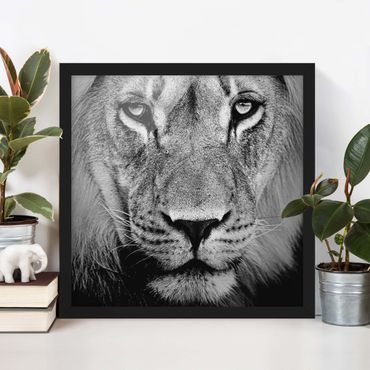 Poster con cornice - No.273 Old Lion - Quadrato 1:1