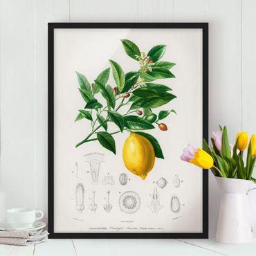 Poster con cornice - Botanica Vintage Illustrazione Di Limone - Verticale 4:3
