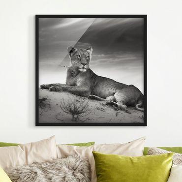 Poster con cornice - Resting Lion - Quadrato 1:1