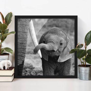 Poster con cornice - Baby Elephant - Quadrato 1:1