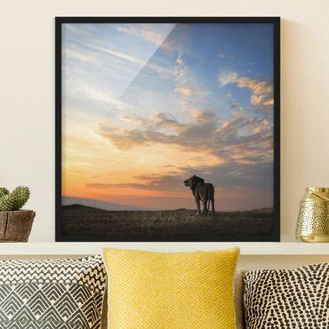 Poster con cornice - Lion In Sunset - Quadrato 1:1