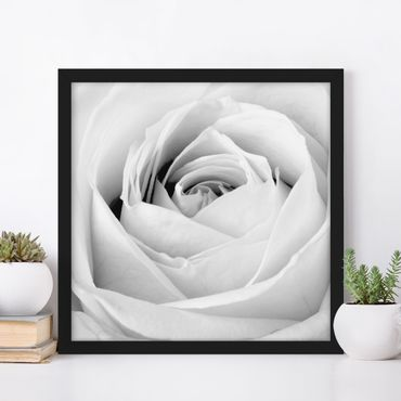 Poster con cornice - Close Up Rose - Quadrato 1:1