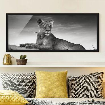 Poster con cornice - Leone Di Riposo - Panorama formato orizzontale