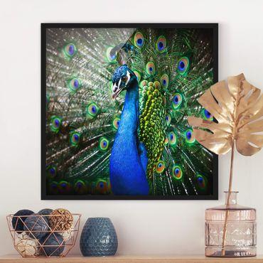 Poster con cornice - Noble Peacock - Quadrato 1:1