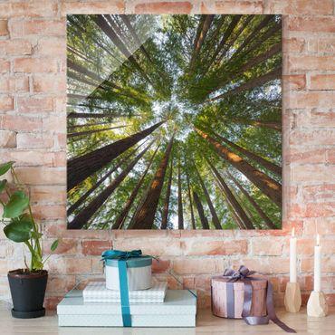 Quadro in vetro - Sequoia tree tops - Quadrato 1:1