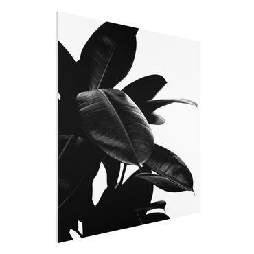 Stampa su Forex - Foglie dell'albero della gomma bianco e nero - Quadrato 1:1