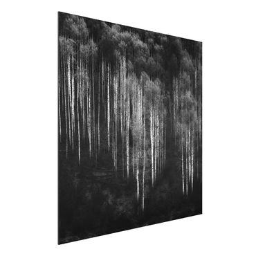 Quadro in alluminio - Foreste di betulle in Aspen