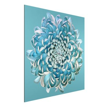 Quadro in alluminio - Blue Chrysanthemum