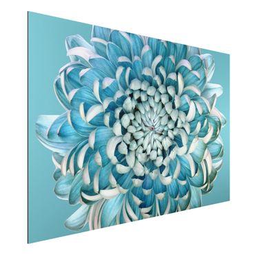 Quadro in alluminio - Blue Chrysanthemum