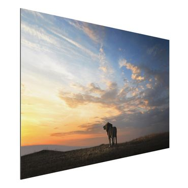 Quadro in alluminio - Lion In Sunset