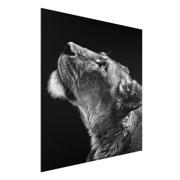 Quadro in alluminio - Ritratto di una leonessa