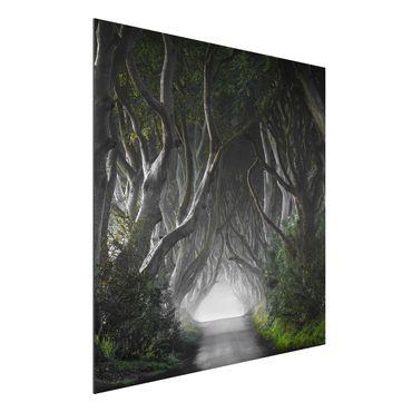 Quadro in alluminio - Forest In Northern Ireland