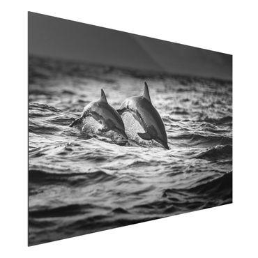 Quadro in alluminio - Due delfini che saltano