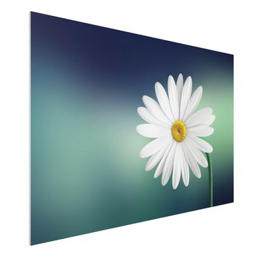 Quadro in forex - Daisies Close Up - Orizzontale 3:2