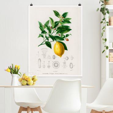 Poster - Botanica Vintage Illustrazione Di Limone - Verticale 4:3