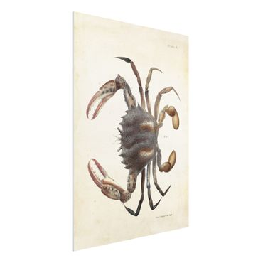 Stampa su Forex - Vintage illustrazione Crab - Verticale 4:3