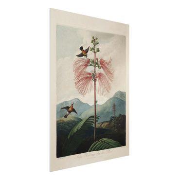 Stampa su Forex - illustrazione d'epoca Botanica Fiore e colibrì - Verticale 4:3