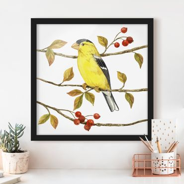 Poster con cornice - Birds And Berries - American Goldfinch - Quadrato 1:1