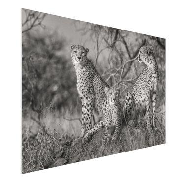 Quadro in forex - tre ghepardi - Orizzontale 3:2