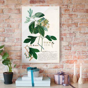 Quadro in vetro - Vintage botanica Laurel - Verticale 3:2