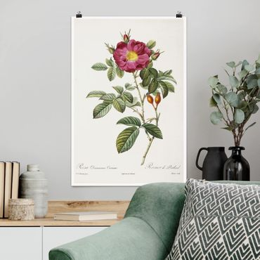 Poster - Pierre Joseph Redoute - Portland Rose - Verticale 3:2