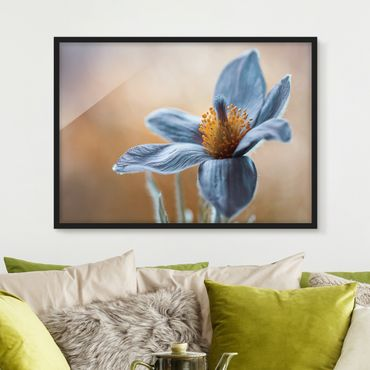 Poster con cornice - Pasque Flower In Blue - Orizzontale 3:4